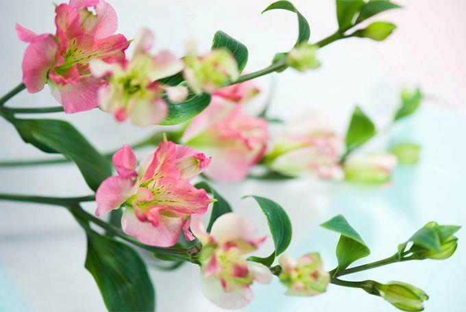 Алстромерия первый цветок