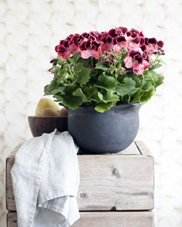 Houseplant-of-the-Month-Regal-Pelargonium-Flowerona-2