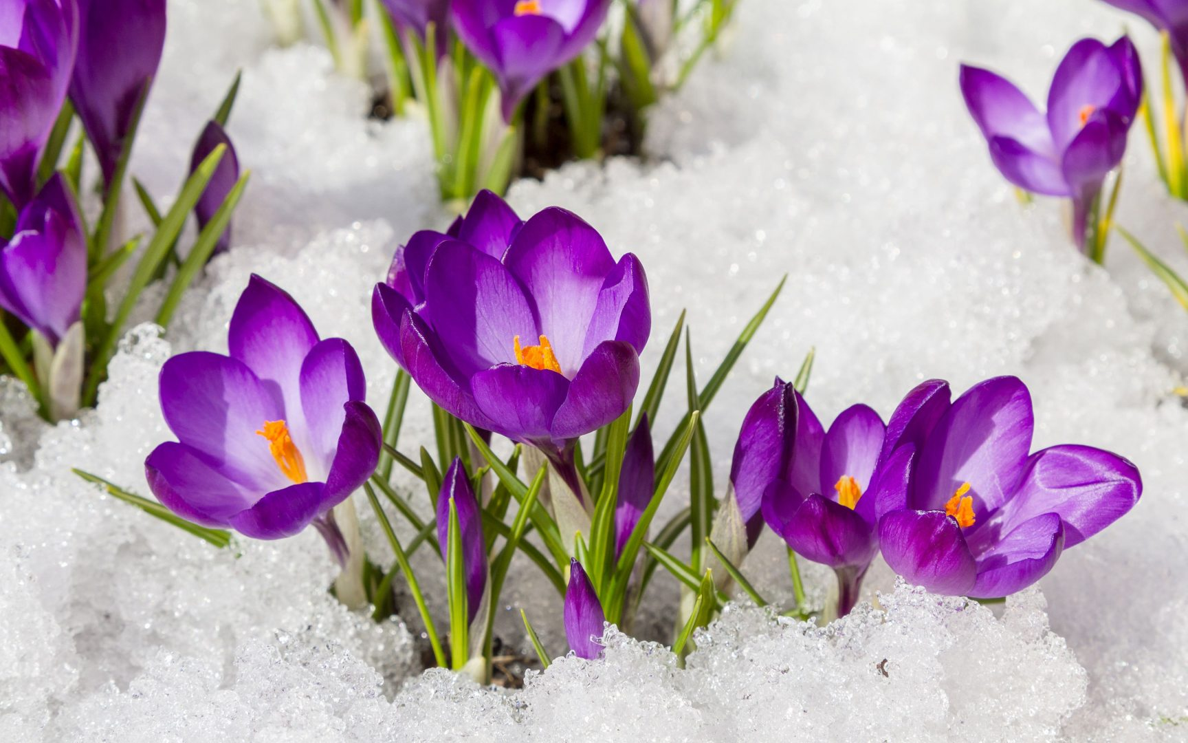 11 самых первых весенних цветов — Планета Флористики